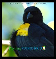 Yellow-shouldered Blackbird - Mariquita de Puerto Rico