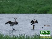 Great Blue Heron (left) - Double-crested Cormorant (right)